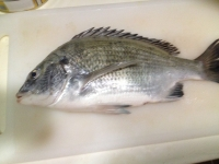 Black Bream - Acanthopagrus berda