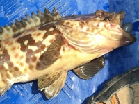 Orange Spotted Grouper - epinephelus coioides