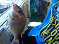 Yellowback Sea Bream - Dentex tumifrons