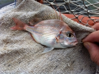 Threadfin Porgy - evynnis cardinalis